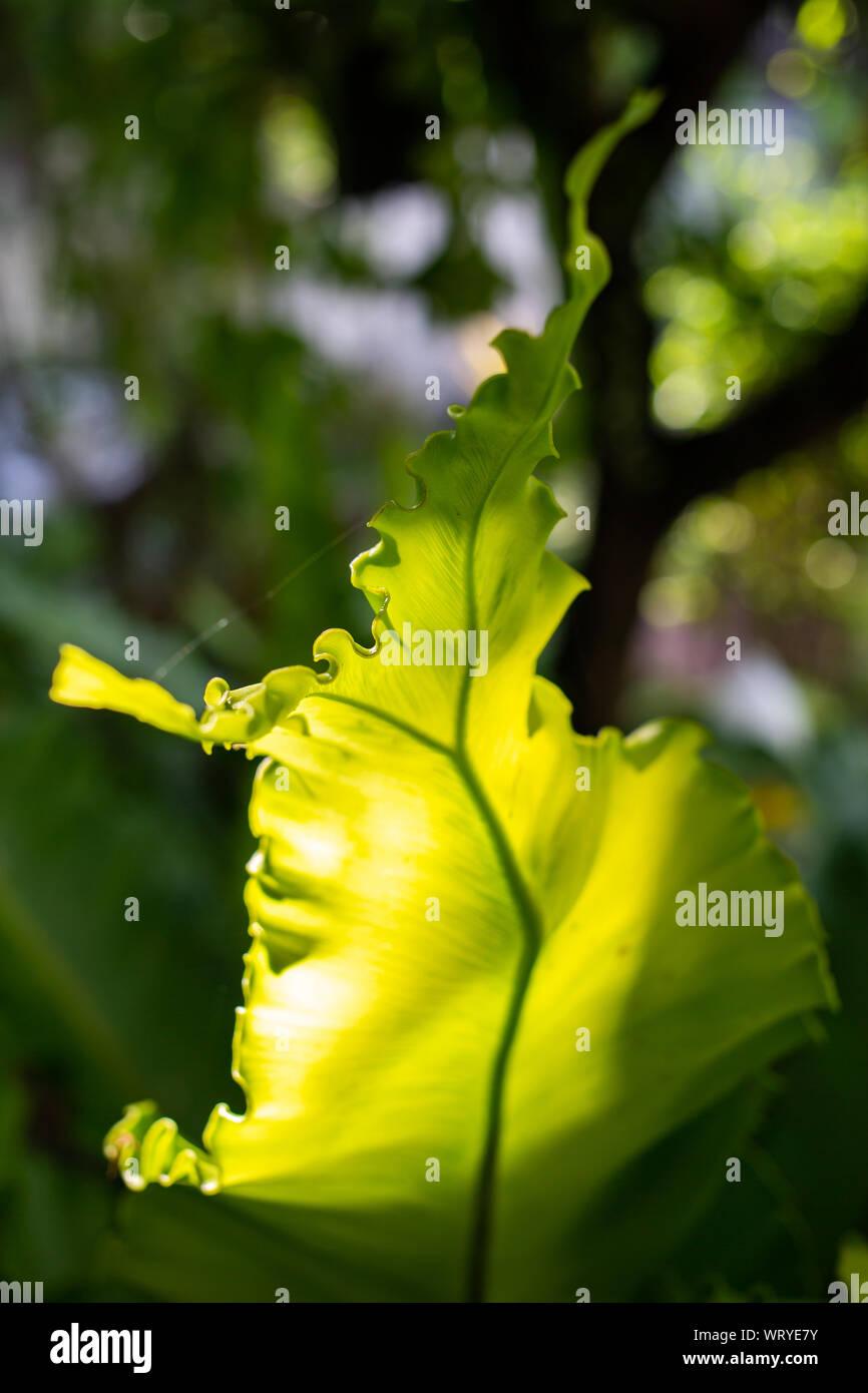 Ver la luz a través de fresco, helecho nido de ave Asplenium nidus en bokeh jardín, Macro & Close Up shot, luz y sombra Foto de stock