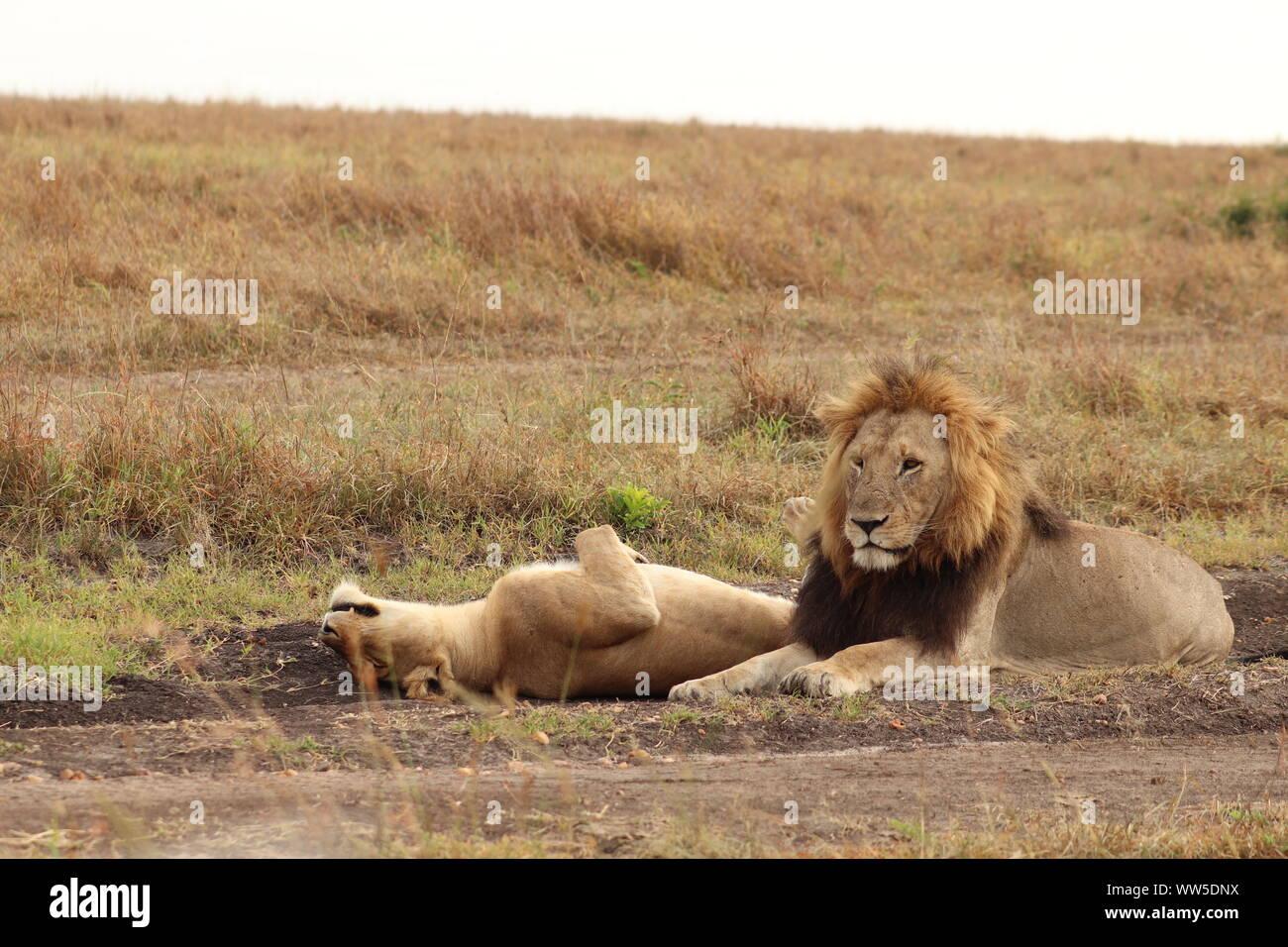 Y León León en la sabana, el Parque Nacional de Masai Mara, Kenya. Foto de stock