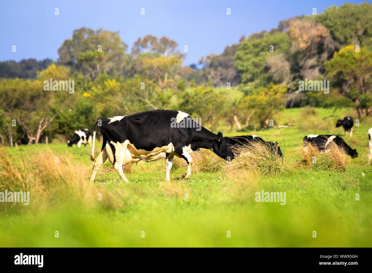 Oído de ganado vacuno y ganado pastando en verdes praderas campo granja de campo Foto de stock