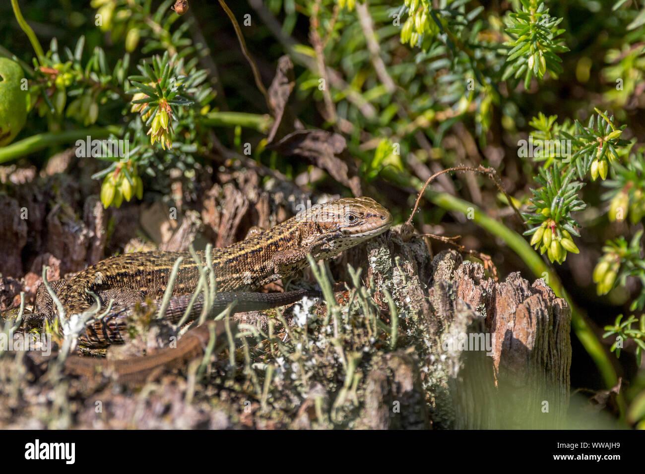 El lagarto común (Lacerta vivipara) largo y estrecho cuerpo y cola muy larga. Amarillo pardusco cubierto de escamas pequeñas con garganta blanca y patas cortas Foto de stock