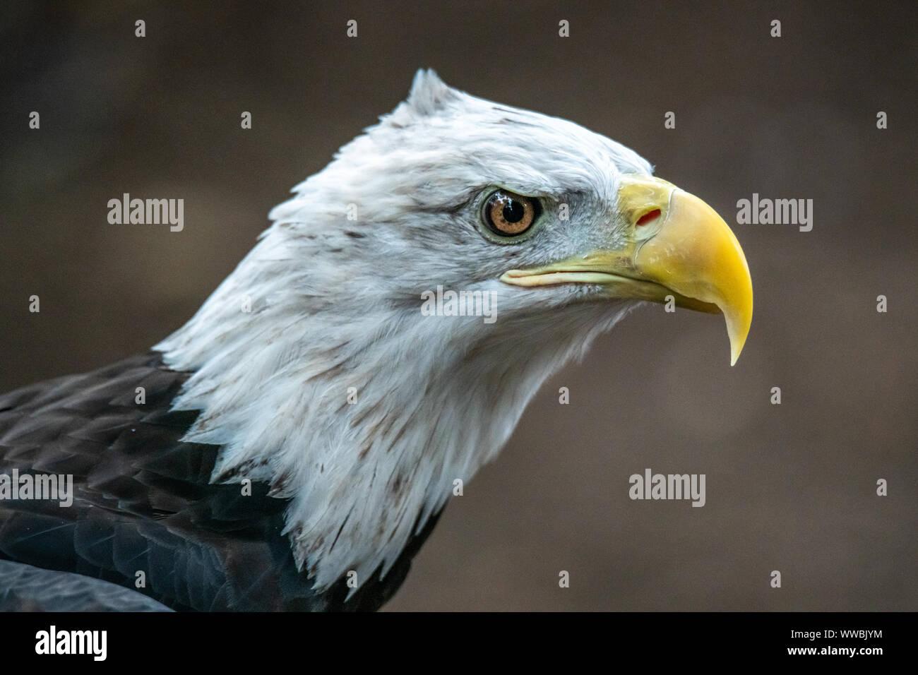 Nueva York, Estados Unidos, 14 de septiembre de 2019. Un águila calva (Haliaeetus leucocephalus) aparece en el Raptor Fest evento anual organizado por el CIT de Nueva York Foto de stock