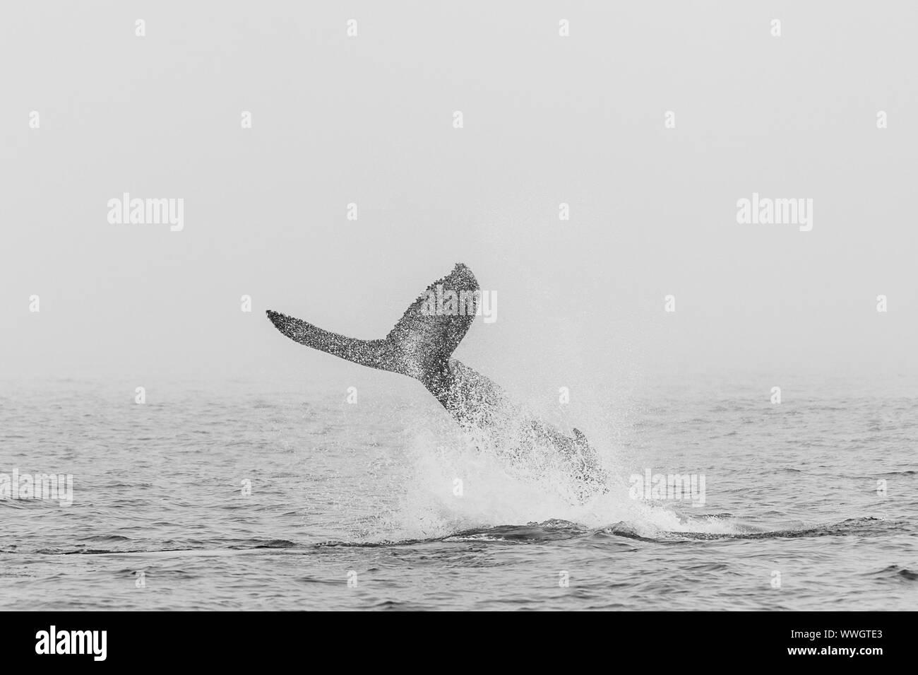 La cola de una ballena jorobada (Megaptera novaeangliae- que emergen de la superficie del océano, cerca de Walvis Bay (Namibia). Foto de stock