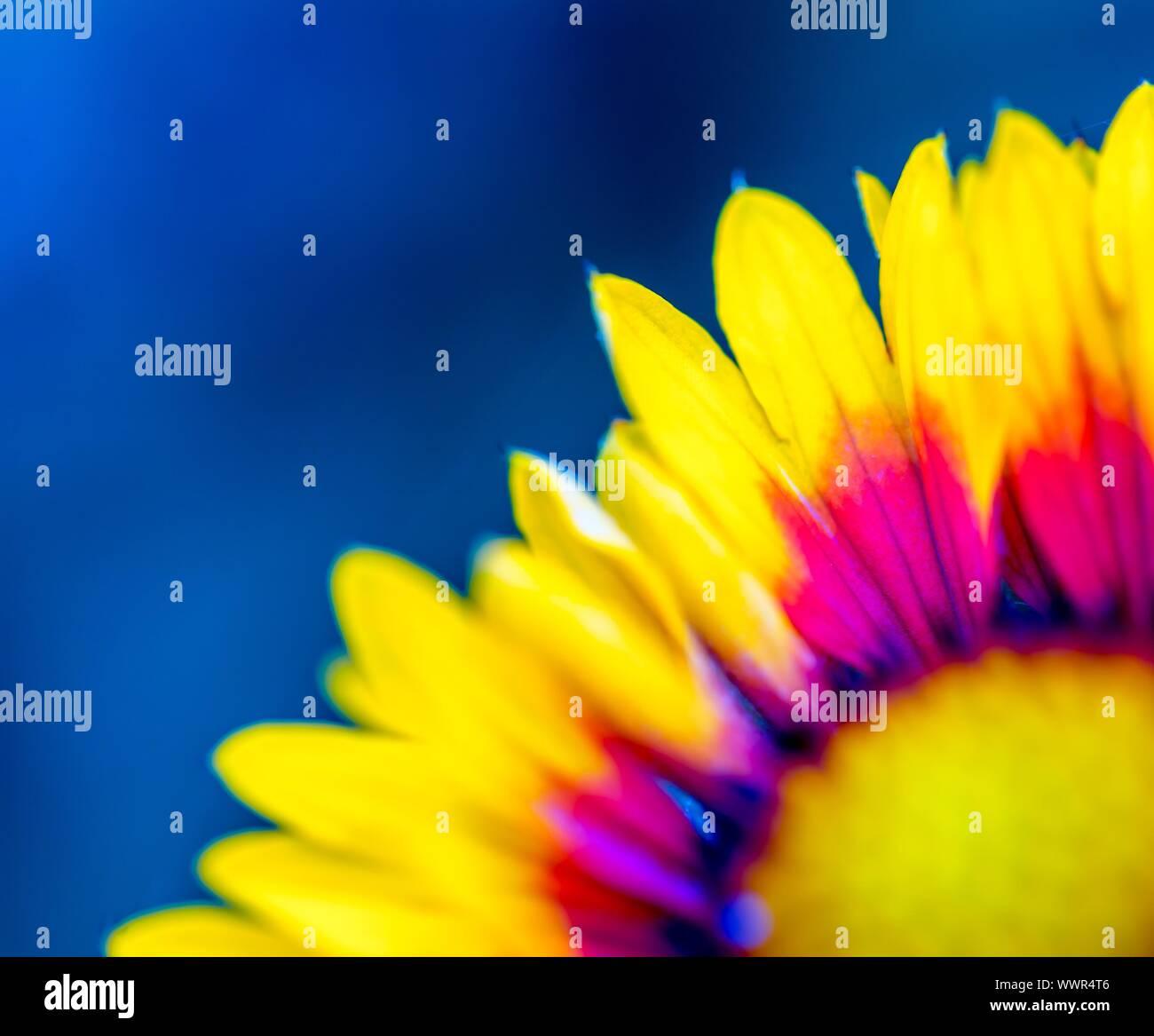 Coneflower en estrecha. Hermosas flores de color amarillo y naranja macro. Foto de stock