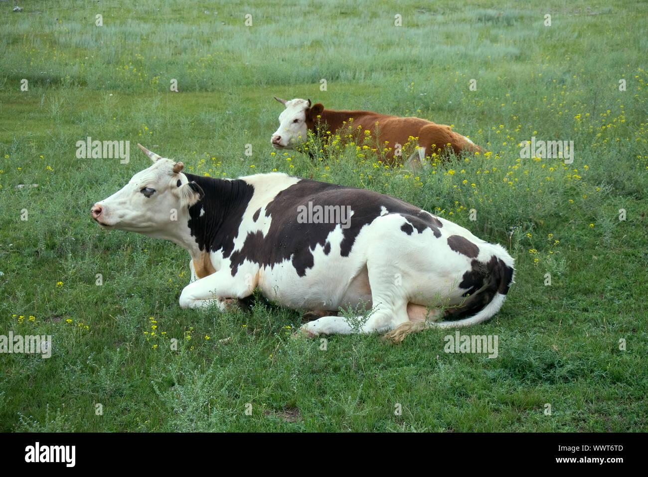 La cría de ganado de raza Holstein 2. Las vacas en la pradera Foto de stock