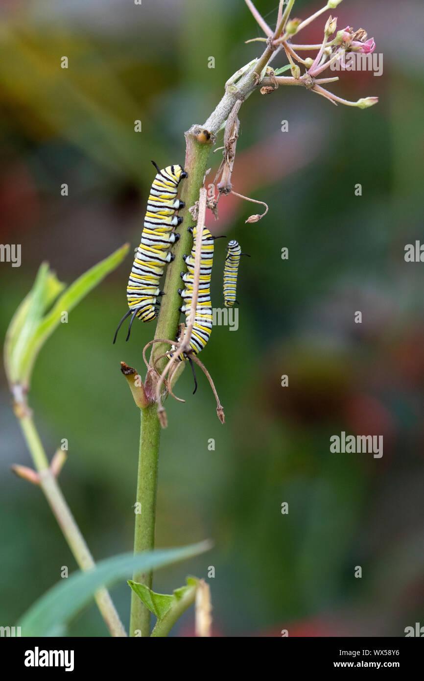 Las orugas de la mariposa monarca en pantano asclepias Foto de stock
