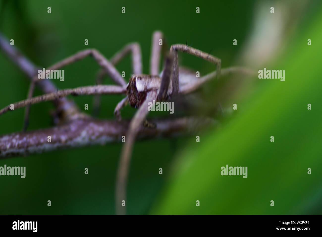 Araña caza arrastrándose sobre stick Foto de stock