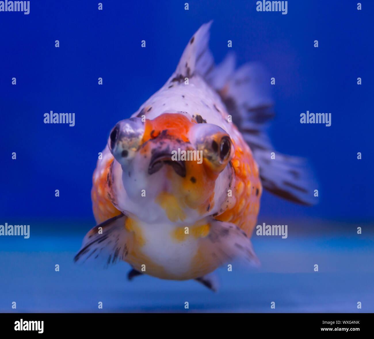 Perla Calico peces escala sobre fondo azul. Foto de stock