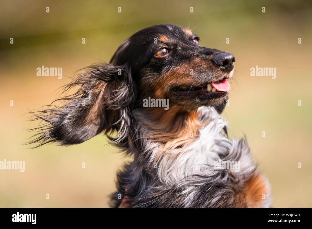 Teckel de pelo largo. Retrato de Merle adulto. Alemania Foto de stock