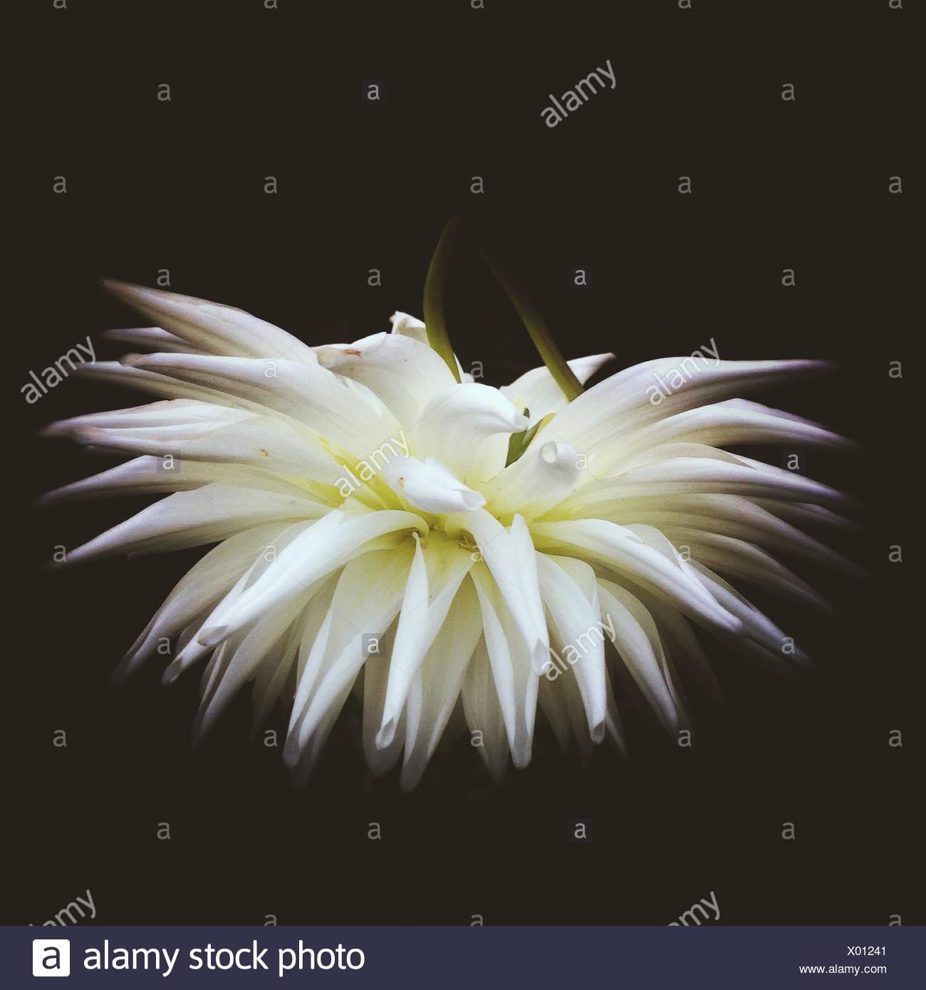 Cerca de la cabeza de la flor blanca Imagen De Stock
