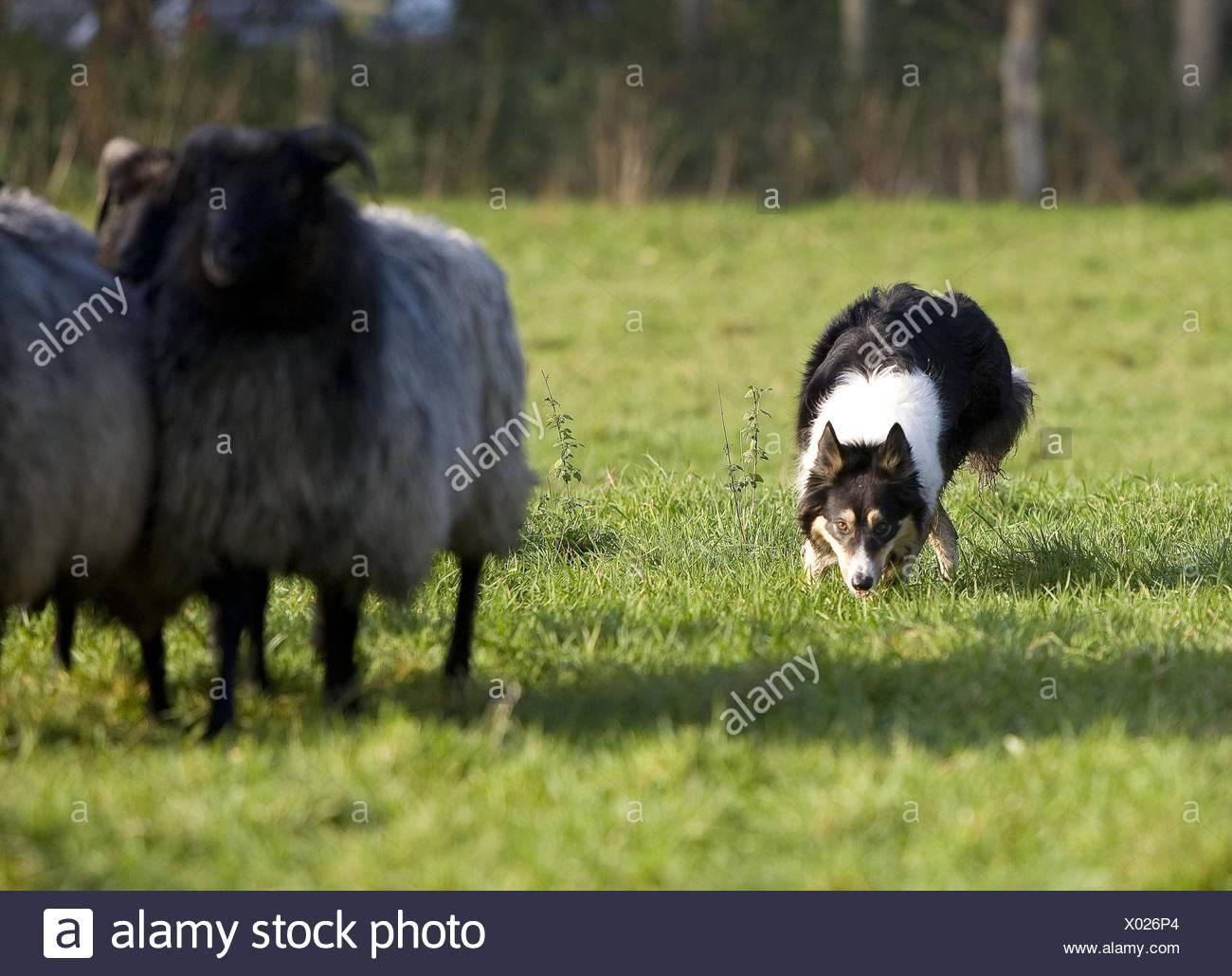 El pastoreo Border Collie Foto de stock