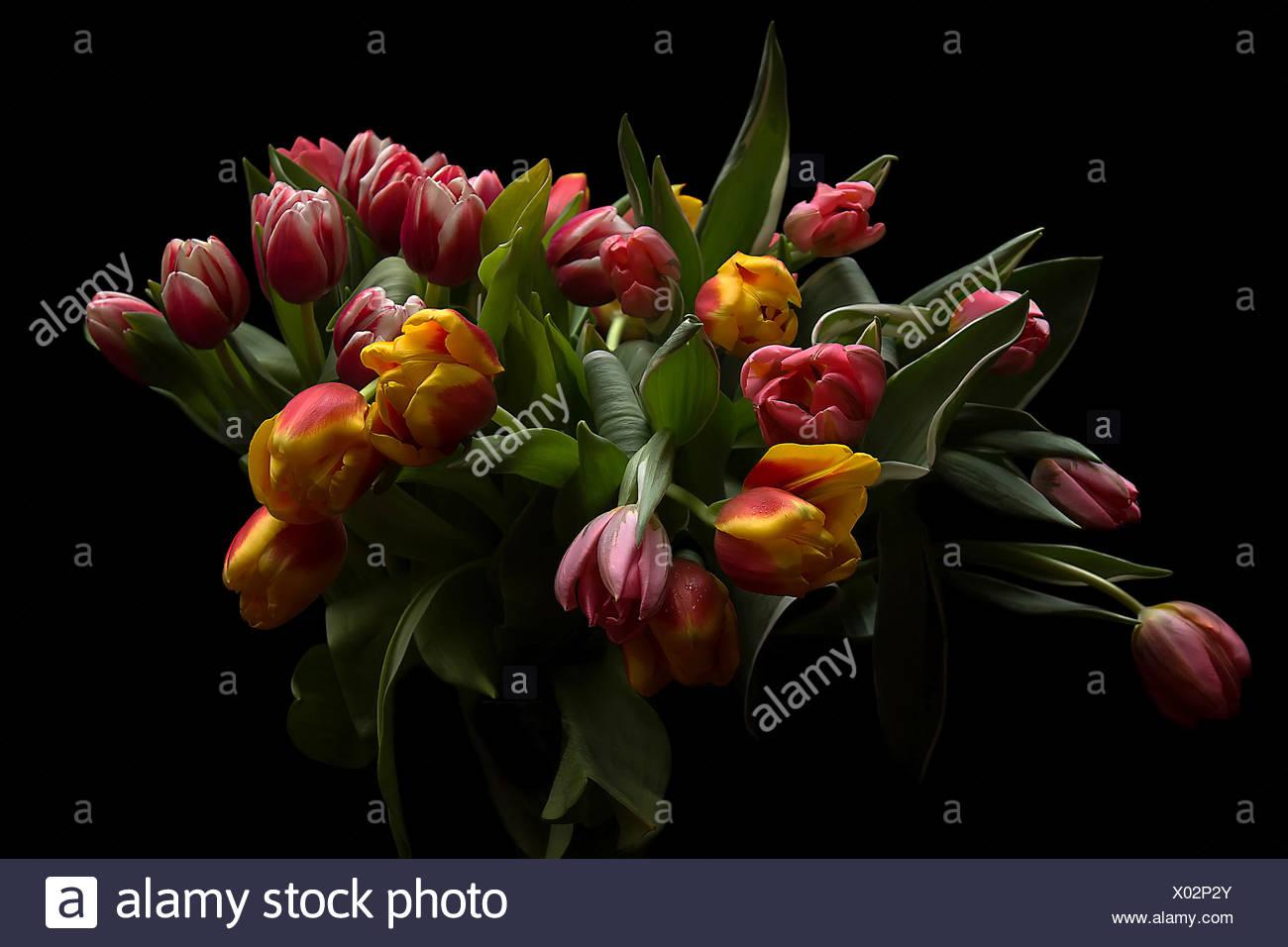 Ramo de tulipanes, Foto de estudio Foto de stock