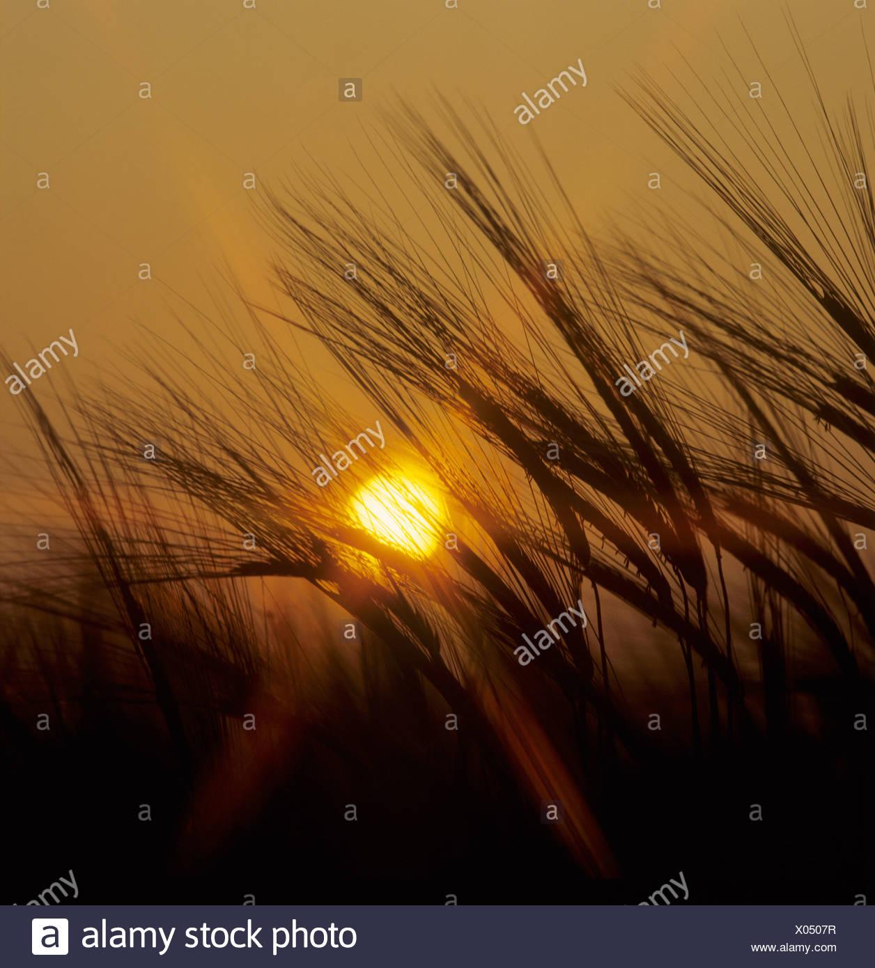 Floración espigas de cebada silouetted inmaduras contra una puesta de sol Imagen De Stock