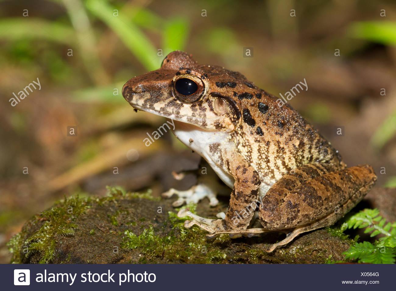 Color de corteza rana, Costa Rica, Centroamérica Imagen De Stock