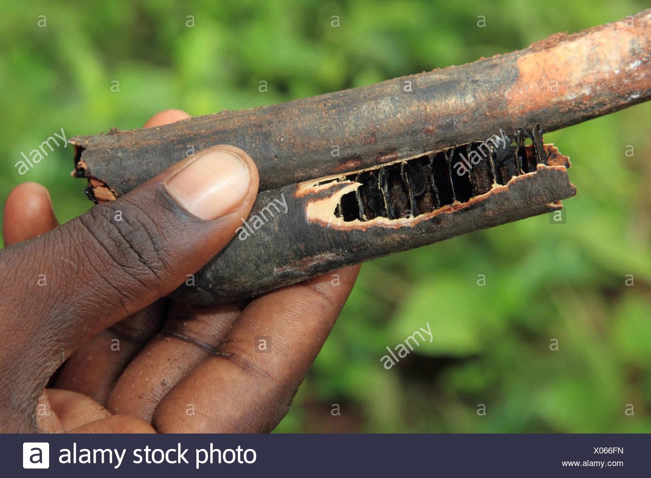 Common liquorice, cultivada regaliz, regaliz, regaliz, regaliz dulce, dulce, verdadera madera de regaliz (Glycyrrhiza glabra, Liquiritia officinalis), la paz de regaliz en una mano, Tanzania, Sansibar Imagen De Stock