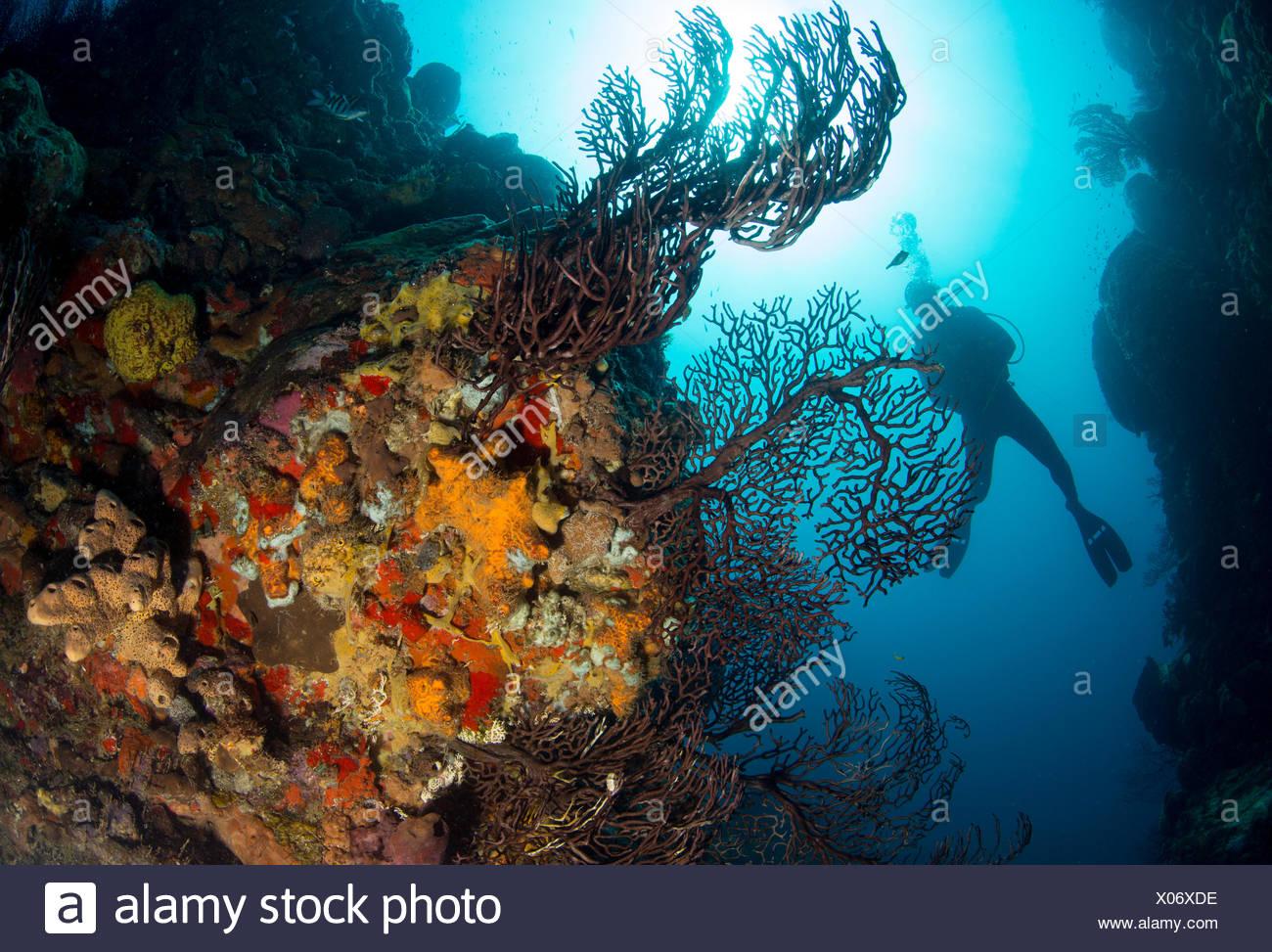 Diver sobre los arrecifes de coral. Imagen De Stock