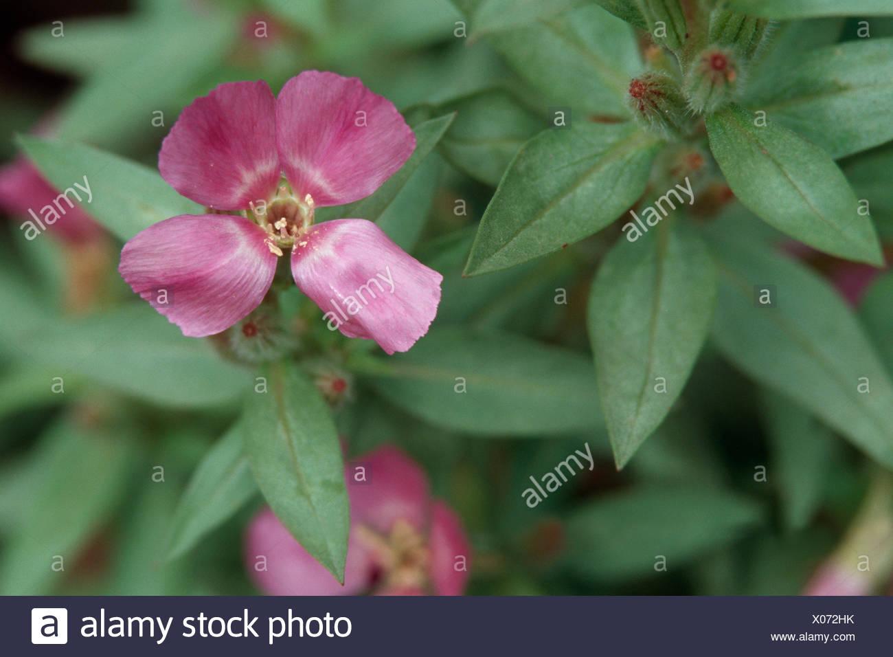 Adiós a la primavera, Godetia (Clarkia amoena, Godetia amoena), floreciendo Imagen De Stock