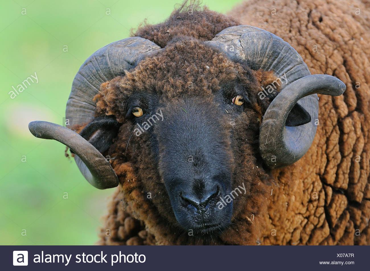 carnero merino negro