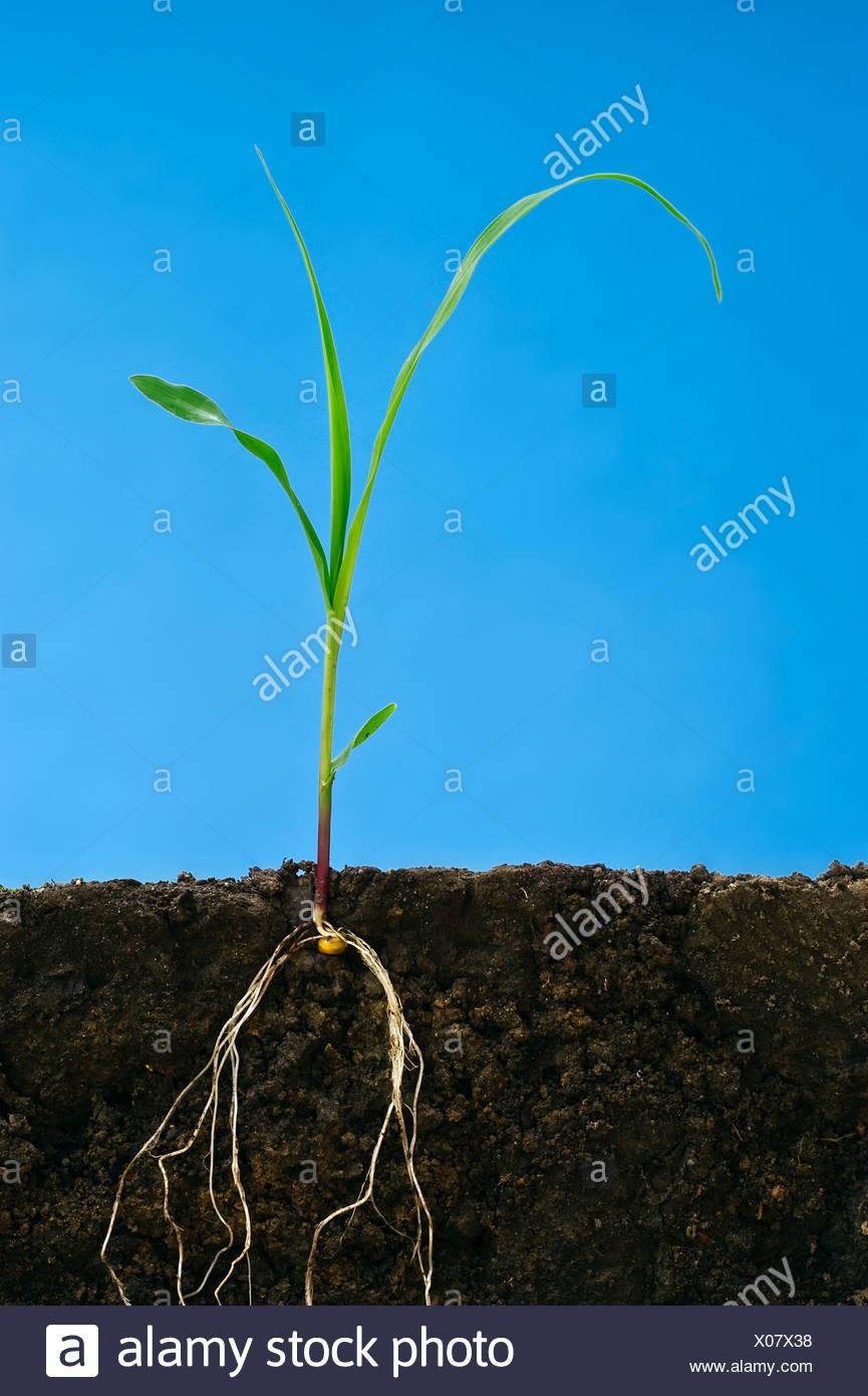 Agricultura - El crecimiento temprano el grano de maíz en la planta tres hojitas que muestra la estructura de la raíz / Iowa, EE.UU. Imagen De Stock