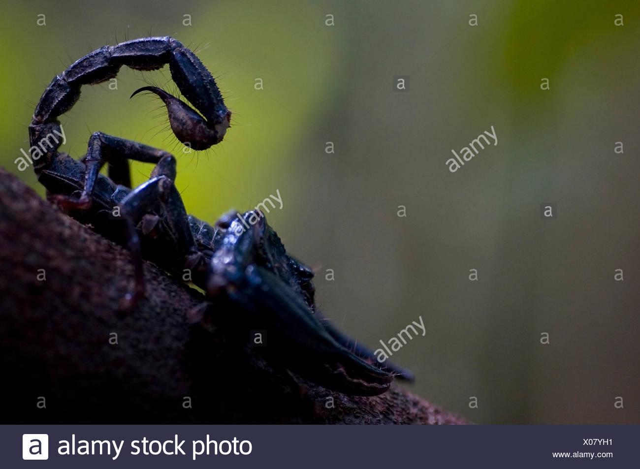 Bosque gigante asiático scorpion (Heterometrus longimanus) con la cola levantada, Sarawak, Borneo, Malasia Imagen De Stock