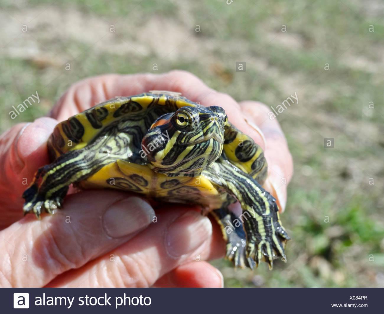 De orejas rojas, reptiles, tortugas acuáticas de Texas, log, pantano, Trachemys scripta elegans, baby, juvenil, tortuga Imagen De Stock