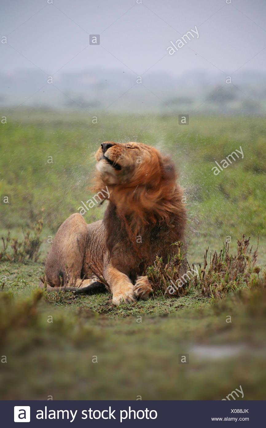 León (Panthera leo), Male lion agitando el agua fuera de su cabeza mojada de lluvia, Tanzania, el Parque nacional Serengeti Imagen De Stock
