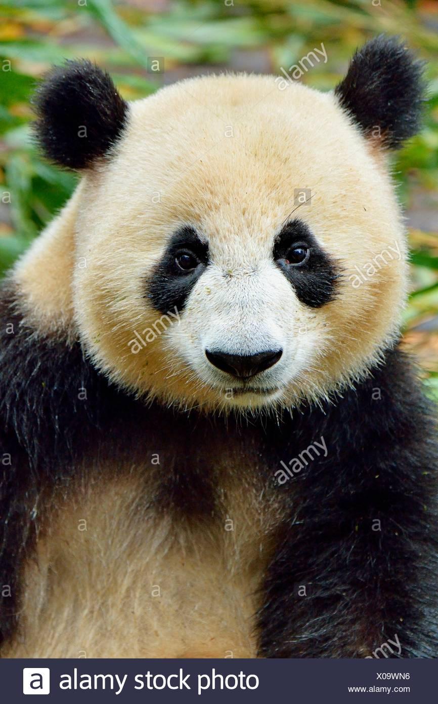 El panda gigante (Ailuropoda melanoleuca), cautiva, Chengdu Base de investigación de pandas gigantes de cría o de Chengdu Panda Base, Chengdu Imagen De Stock
