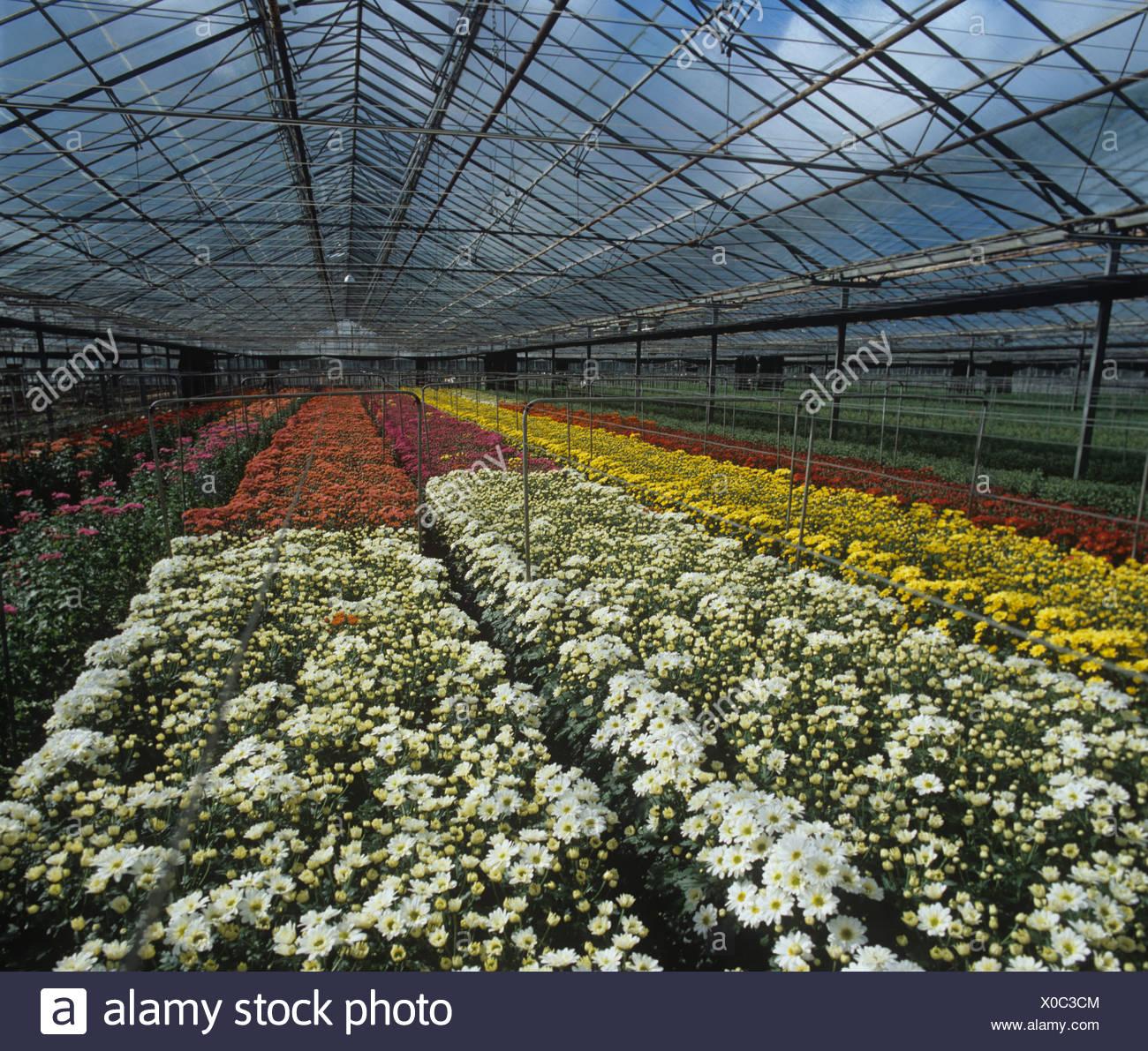 Gran invernadero con flores de pulverización de cultivos de crisantemo, arenoso, Bedfordshire Imagen De Stock