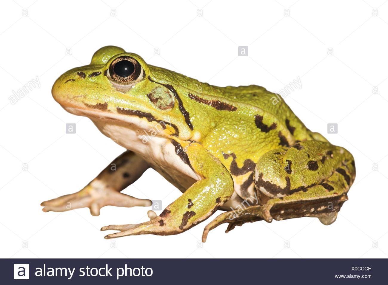 Piscina frog contra un fondo blanco (prestados) Imagen De Stock