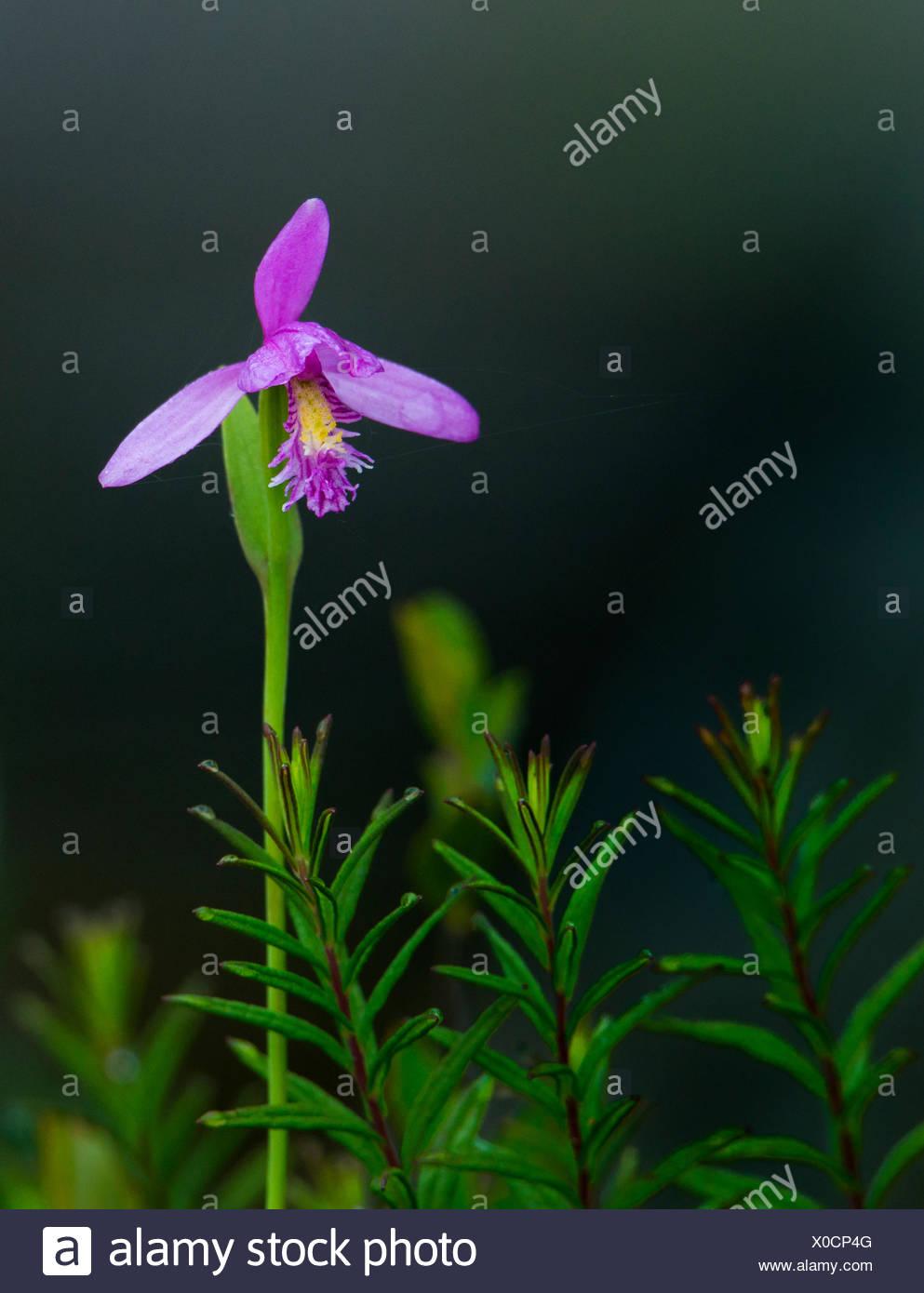 Serpiente boca orchid, pogonia ophioglossoides, noreste de Ontario, Canadá Foto de stock