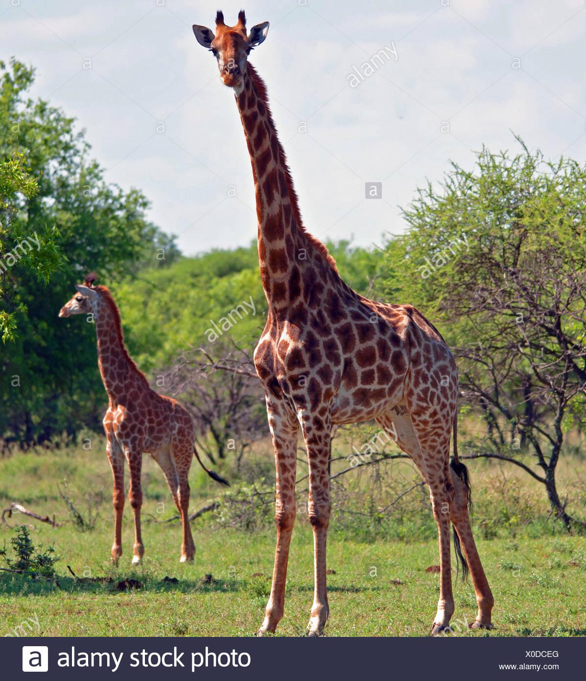 Giraffe vaca con su ternero, Sudáfrica Imagen De Stock