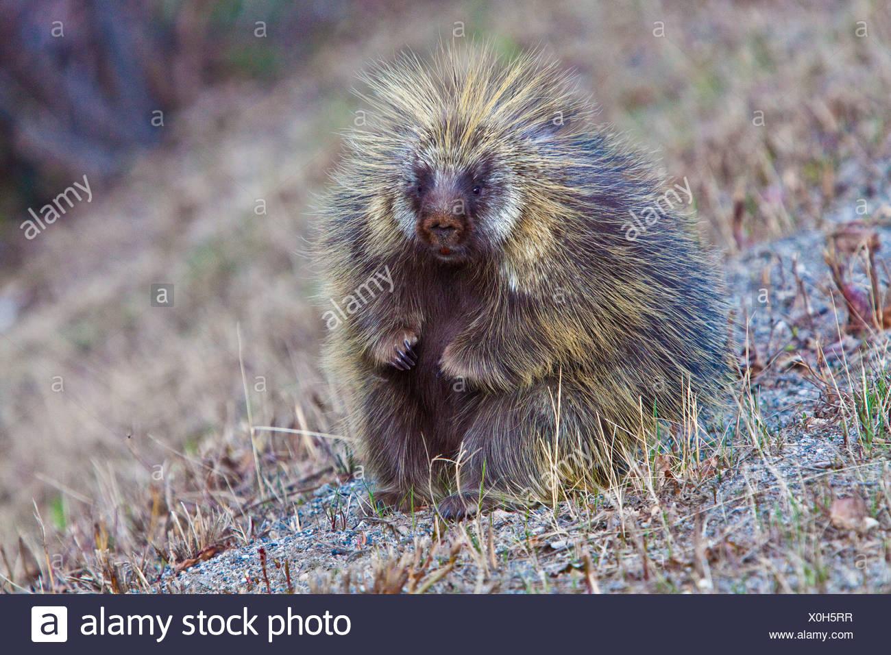 Porcupine plantea en una posición sentada por su imagen Imagen De Stock