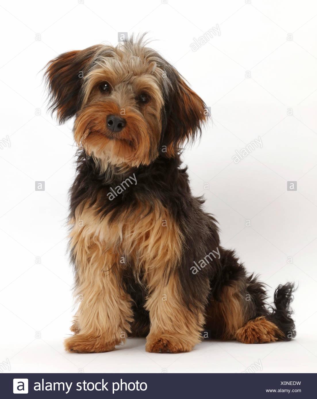 Yorkipoo perro, Yorkshire Terrier Poodle cruz, Oscar, a los 6 meses de edad. Imagen De Stock