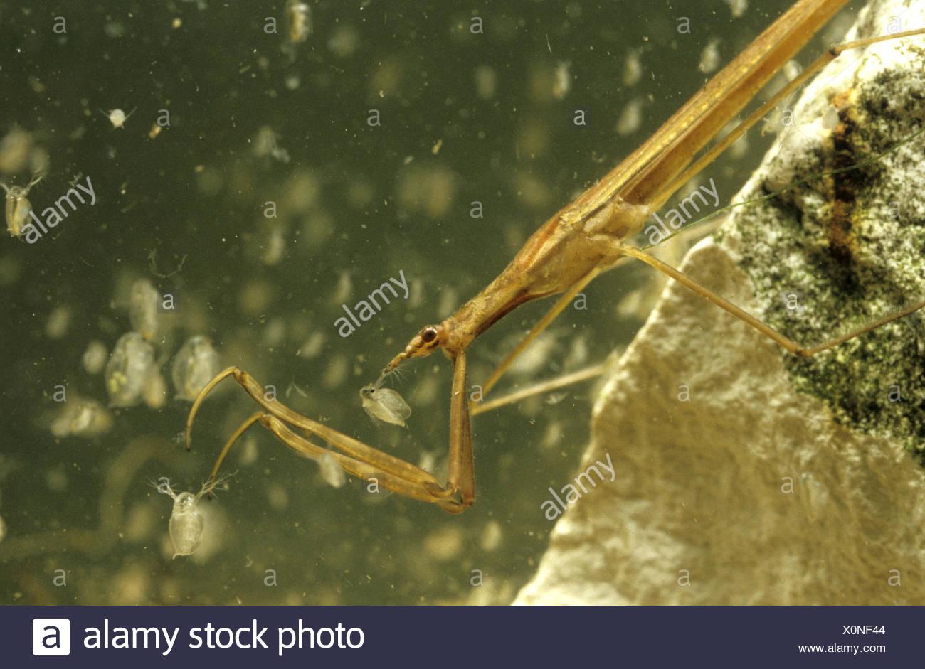 Insecto Palo de agua - Ranatra linearis Imagen De Stock