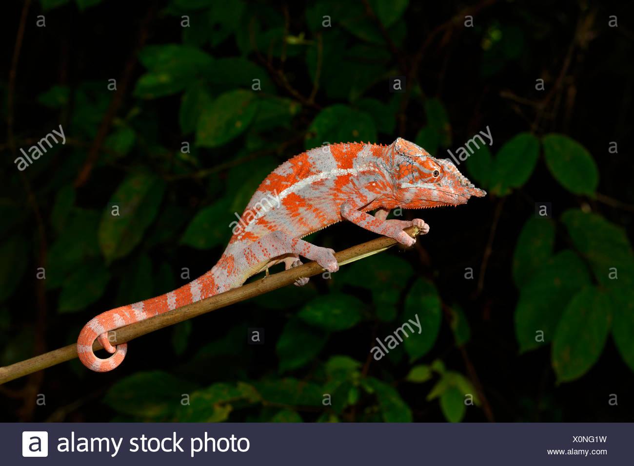 Angel's Chameleon (Furcifer angeli), bosque seco, noroeste de Madagascar Imagen De Stock