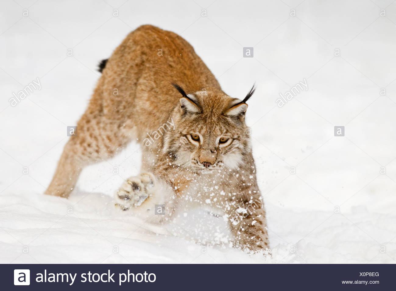 Alemania, Baviera, lince europeo jugando en la nieve Imagen De Stock