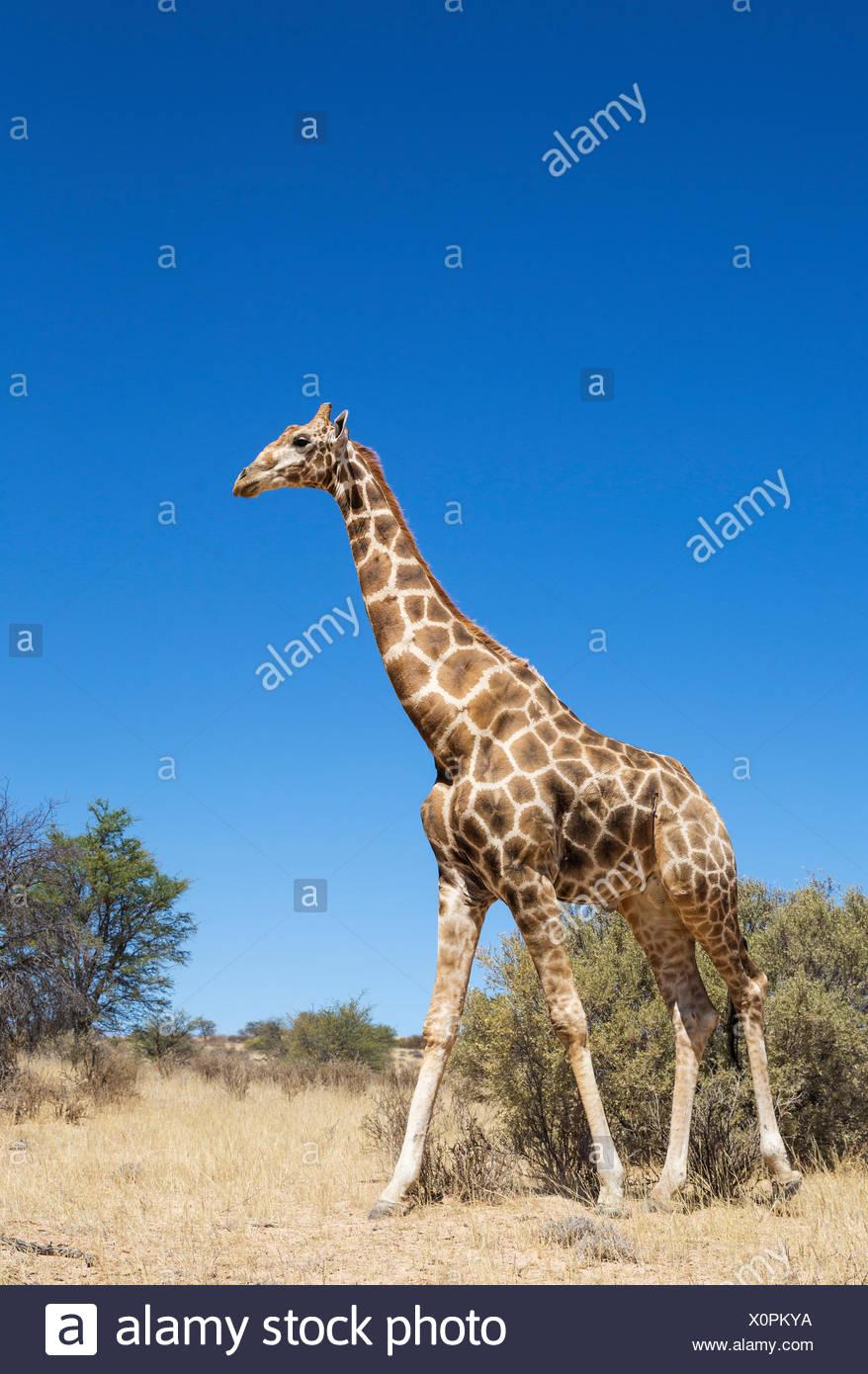 Jirafa (giraffa giraffa meridional), de edades comprendidas entre los hombres, el desierto de Kalahari, el parque transfronterizo Kgalagadi, Sudáfrica Imagen De Stock