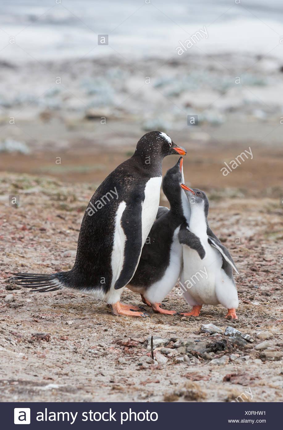Pollitos intenta fomentar la alimentación desde un adulto pingüinos papúa (Pygoscelis papua) la Isla Saunders, Islas Malvinas Imagen De Stock
