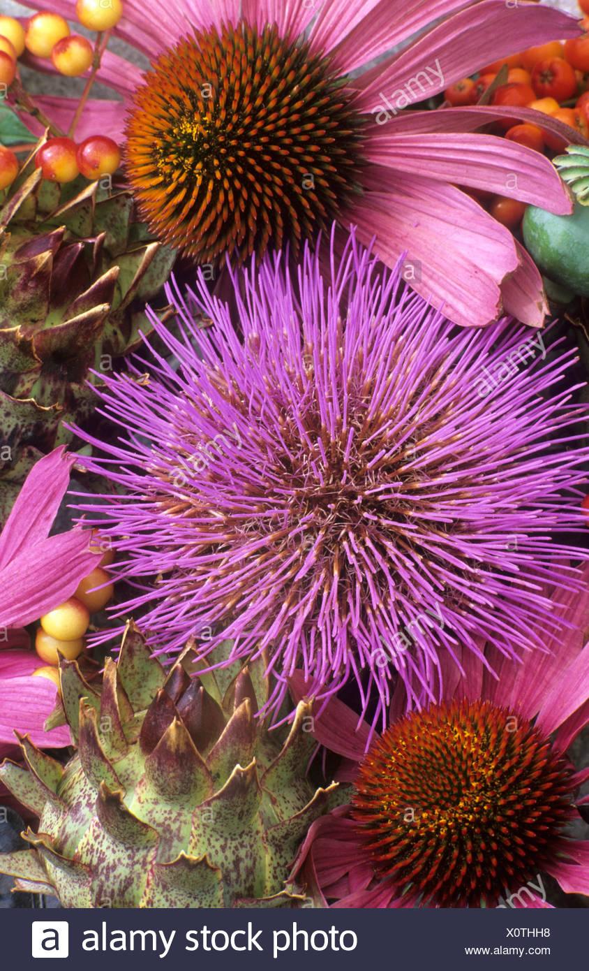 La equinácea Rubinstern Cardo todavía la vida color rosa purpúreo combinación cabezas de flores medicinales plantas de jardín de flores Imagen De Stock