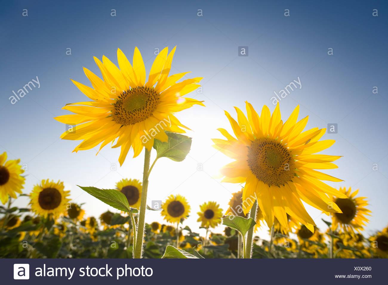 El sol brillando en el cielo azul detrás de vibrante girasoles en el campo Imagen De Stock