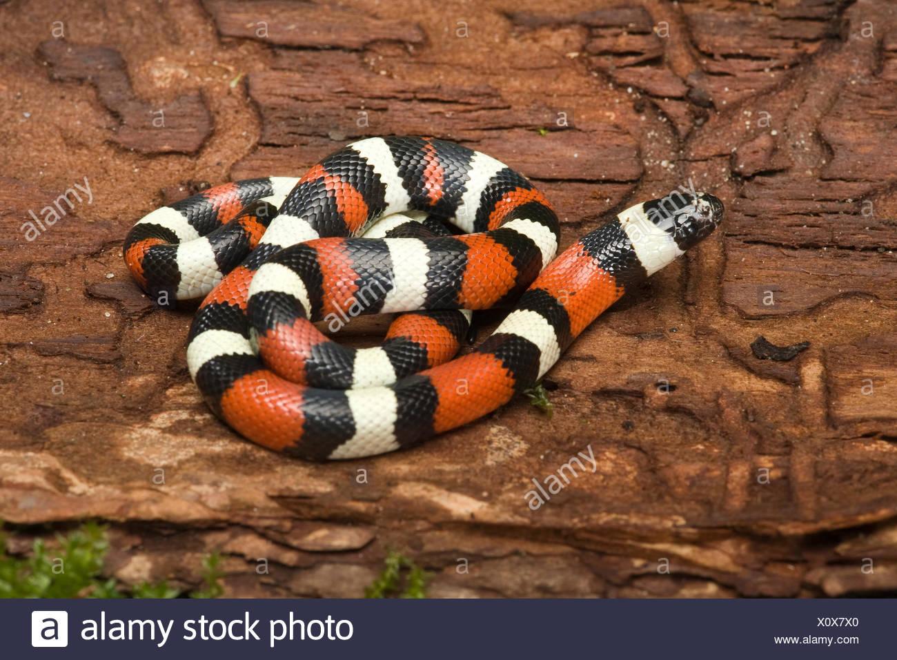 Pueblan Milk Snake (Lampropeltis triangulus campbelli), recostado sobre el tronco de un árbol Imagen De Stock