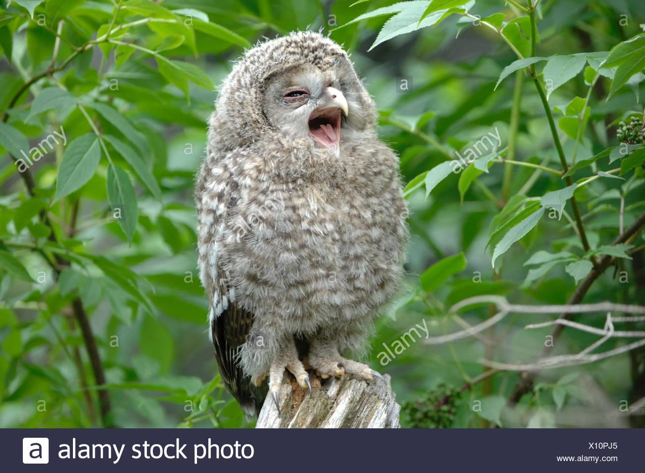 Búhos, la lechuza, búho Ural, cazadores nocturnos, animal, animales, Alemania, Europa, Imagen De Stock