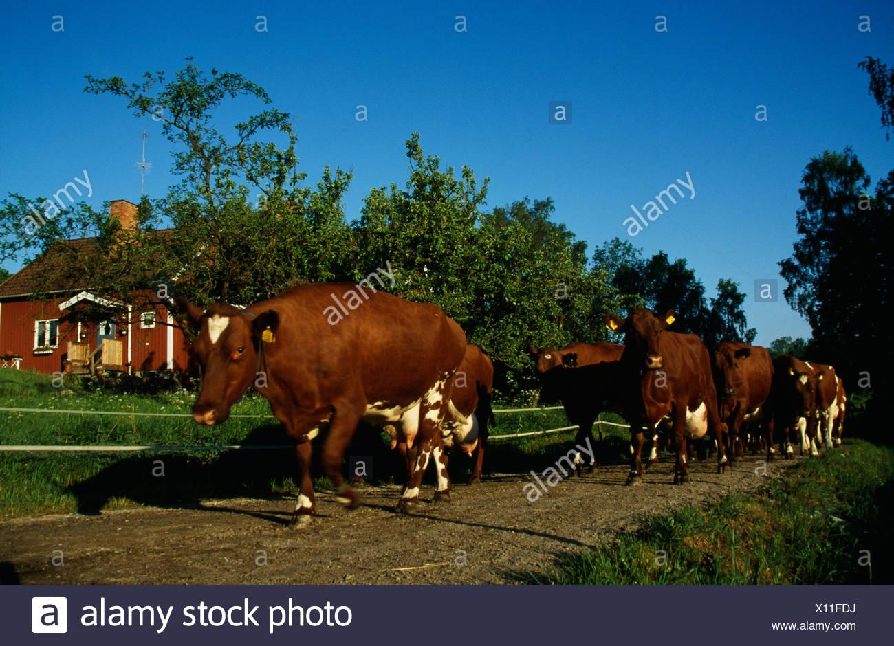 En el movimiento de ganado Imagen De Stock