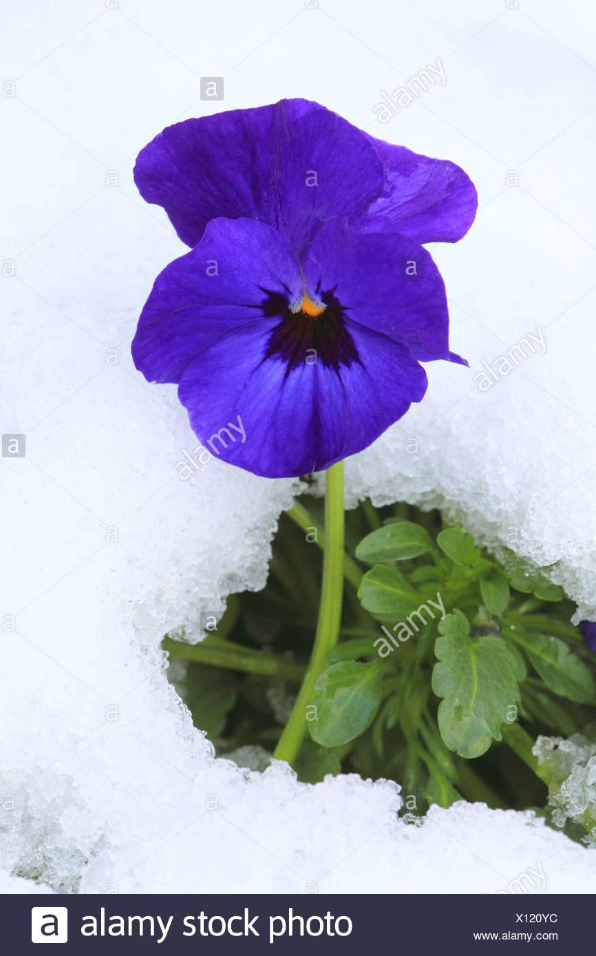 Maricón, maricón violeta (Viola x wittrockiana, Viola, Viola wittrockiana hybrida), en la nieve, Alemania Foto de stock