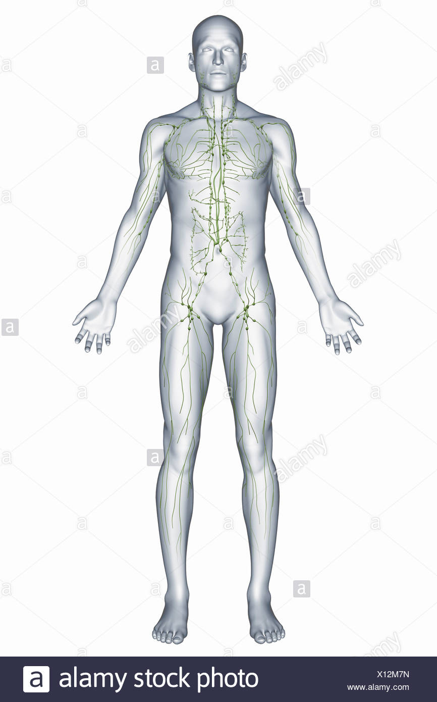 Male Lymphatic System Imágenes De Stock & Male Lymphatic System ...
