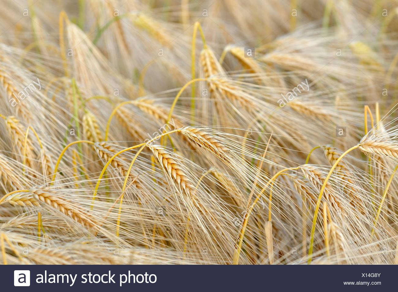 Cebada (Hordeum vulgare), campo de cebada, Alemania Imagen De Stock