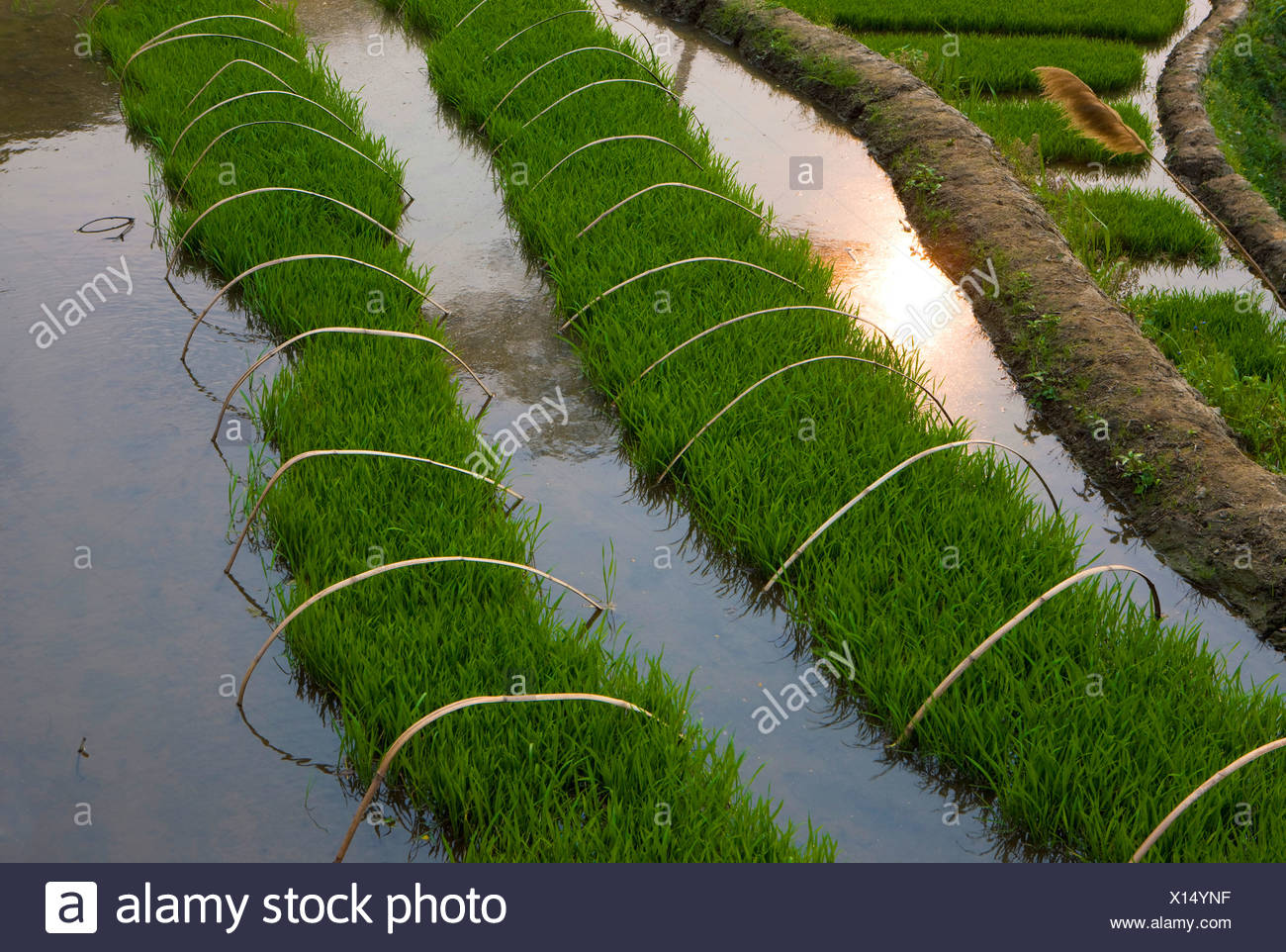Yuanyang China Asia Terrazas De Arroz Cultivo De Arroz