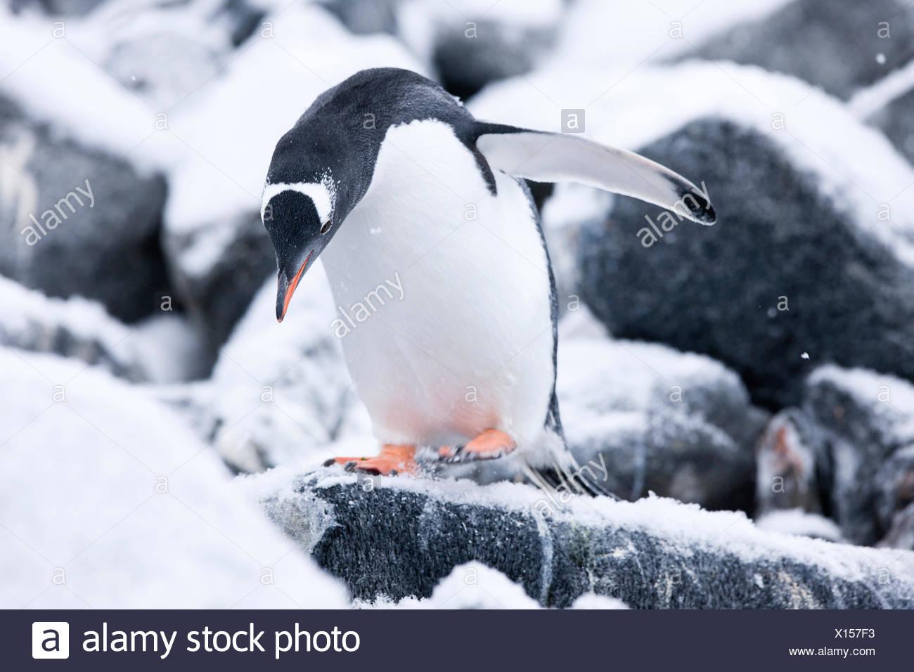 Pingüinos papúa (Pygoscelis papua) entre roca y hielo, en la Península Antártica, en la Antártida Imagen De Stock