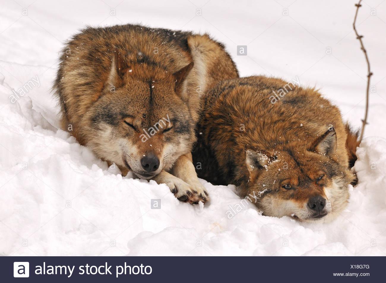 Canis lupus cánidos Unión Wolf lobo gris lobos depredadores predator Wolf nieve del invierno frío frost canino animal animales Germ Imagen De Stock