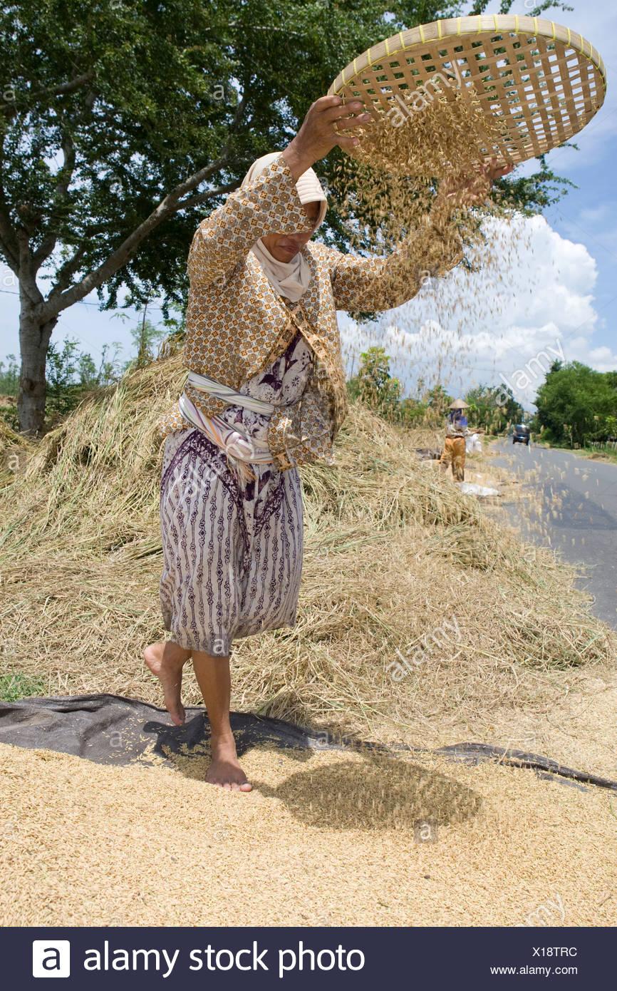 Mujer, verter el arroz a través de un tamiz para separar el arroz de su cáscara, la isla de Lombok, Lesser Sunda Islands, Indonesia Foto de stock