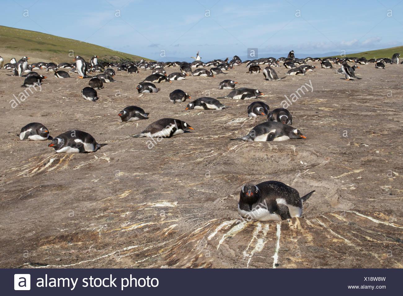 Pingüinos papúa (Pygoscelis papua) en su colonia de anidación en las Islas Falkland Foto de stock